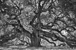 Angel Oak Tree - Black & White